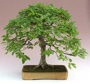 La casa en orden elegir la mejor maceta para el bonsai - La casa de la maceta ...