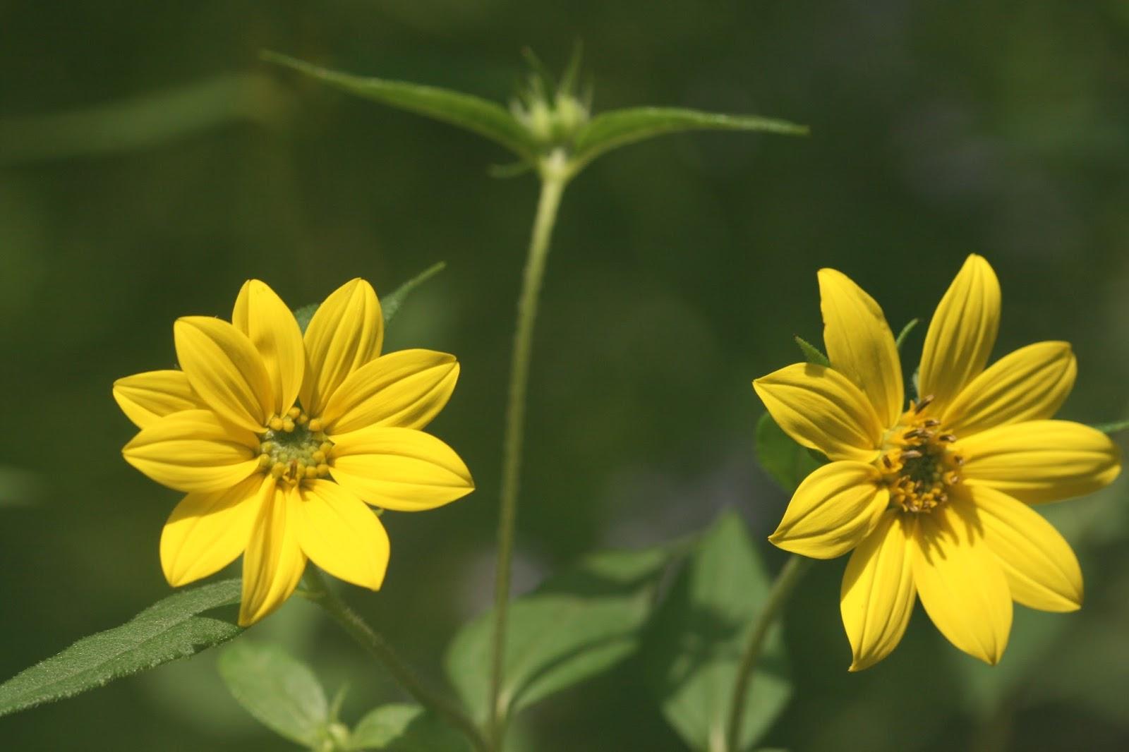 Native Florida Wildflowers Small Woodland Sunflower Helianthus