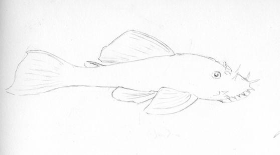 diary of a zoo illustrator bristlenose catfish drawing