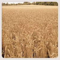 Golden Field we saw on our Fun Family Walk Home