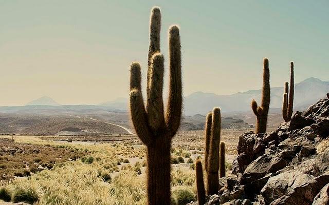 Mundo seco meus cactus e suculentas deserto do atacama for Feroxcactus chile