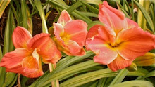 'House of Orange' daylily