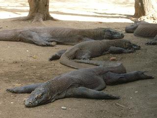 I draghi di Komodo vivono nelle isole indonesiane