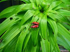 Poskrzypka - czerwone chrząszcze na liliach