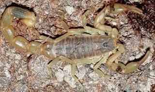 Foto del escorpión o alacrán tomada desde arriba
