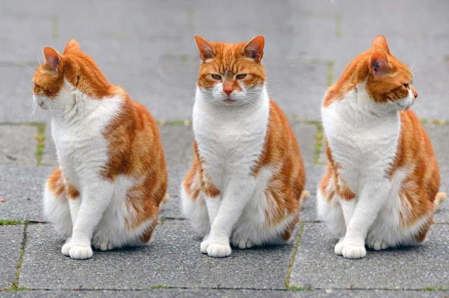 Three musketeers Cats cute images pictures wallpapers