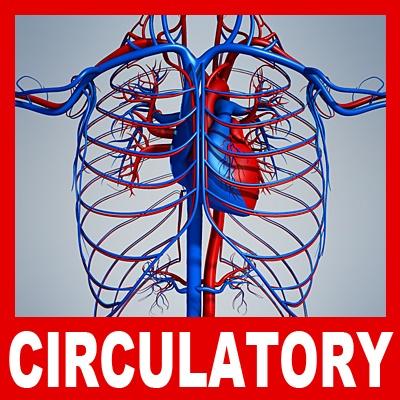 3d Cardiovascular System7
