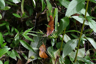 Camuflagem (Borboleta Marpesia petreus)