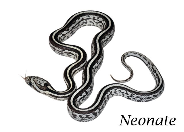 corn snake morph help - Reptile Forums
