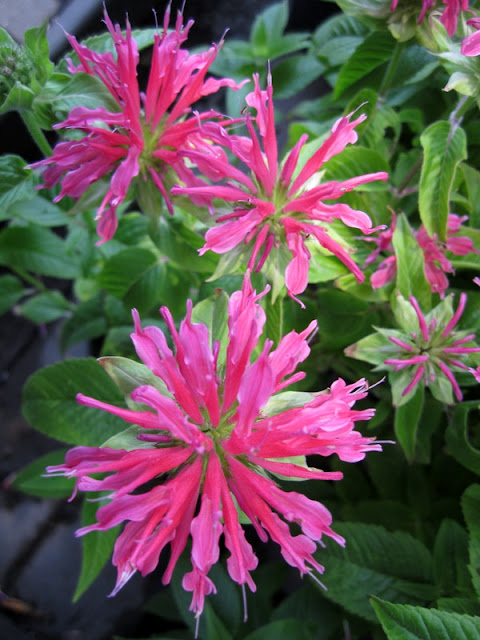 Coral Reef bee balm