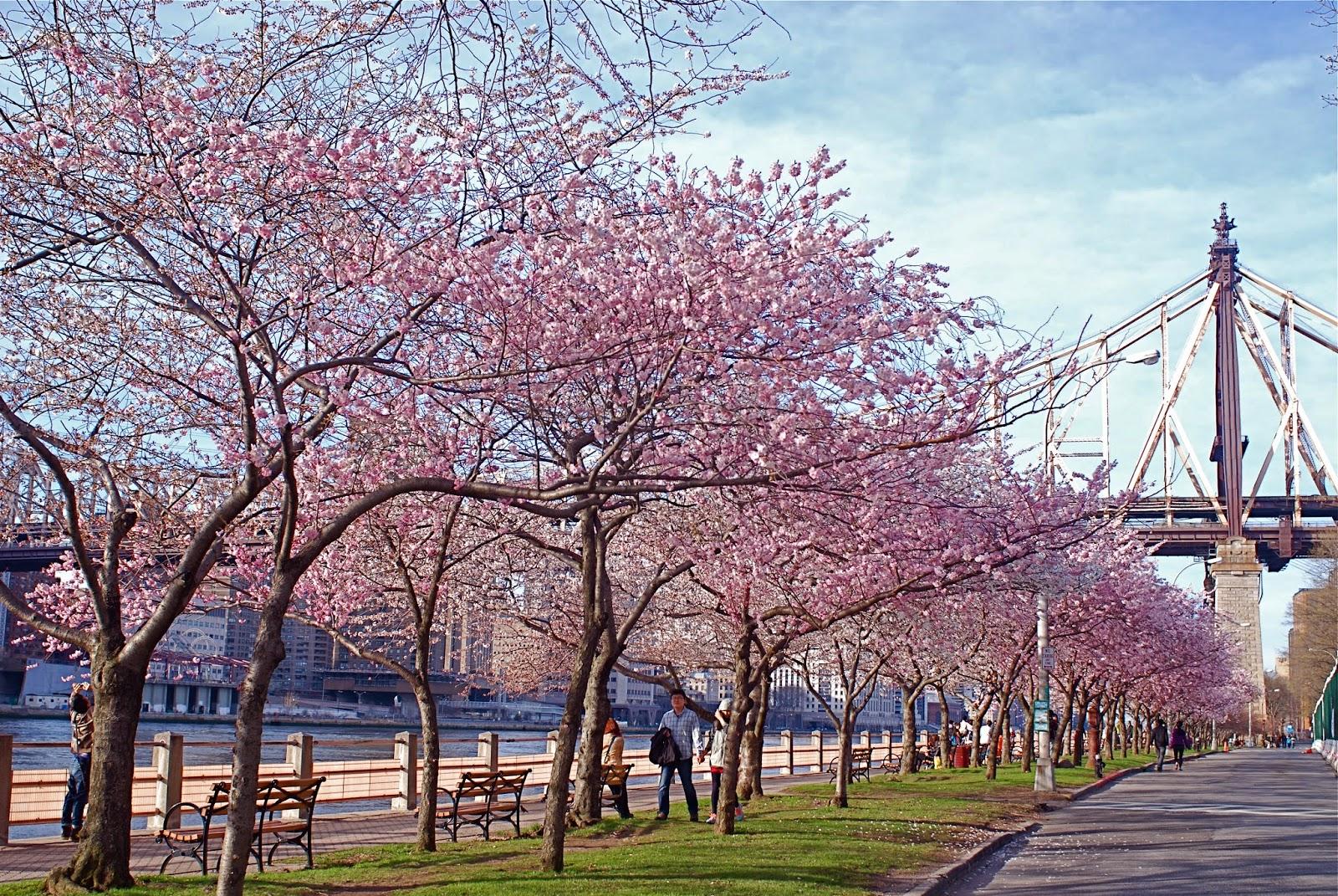Roosevelt Island Cherry Blossom
