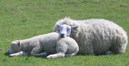 http://1.bp.blogspot.com/-hrcCJXqLv8U/UCUtwB99UgI/AAAAAAAAAQQ/iY3j4G2uGFM/s1600/sheep+sleep.jpg