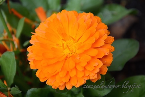 Yellow Orange Marigold