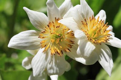 Caltha leptosepala (white marsh marigold)