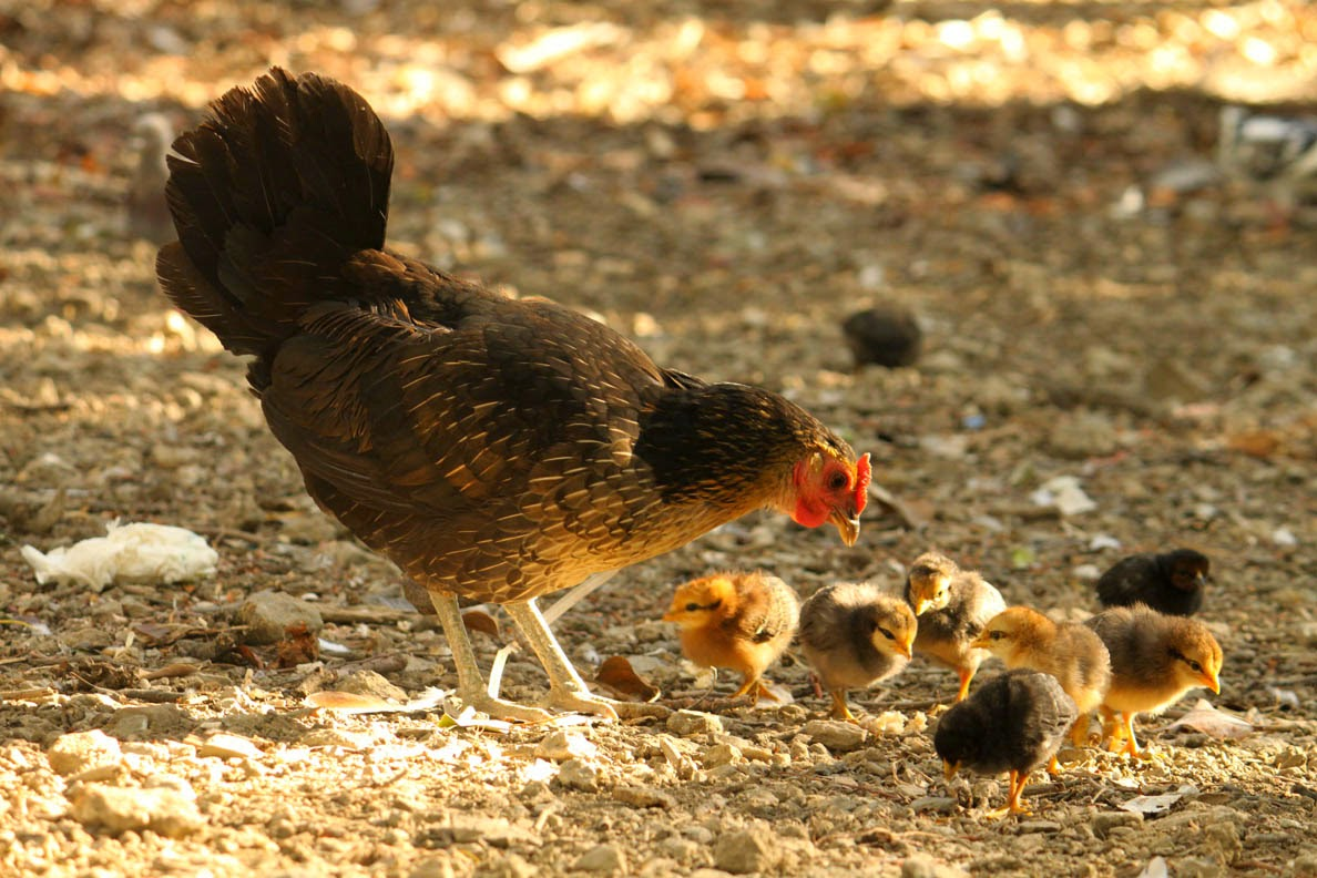kanaemo ja poikaset