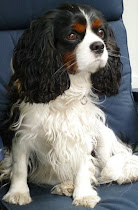 Oscar. Cavalier King Charles Spaniel