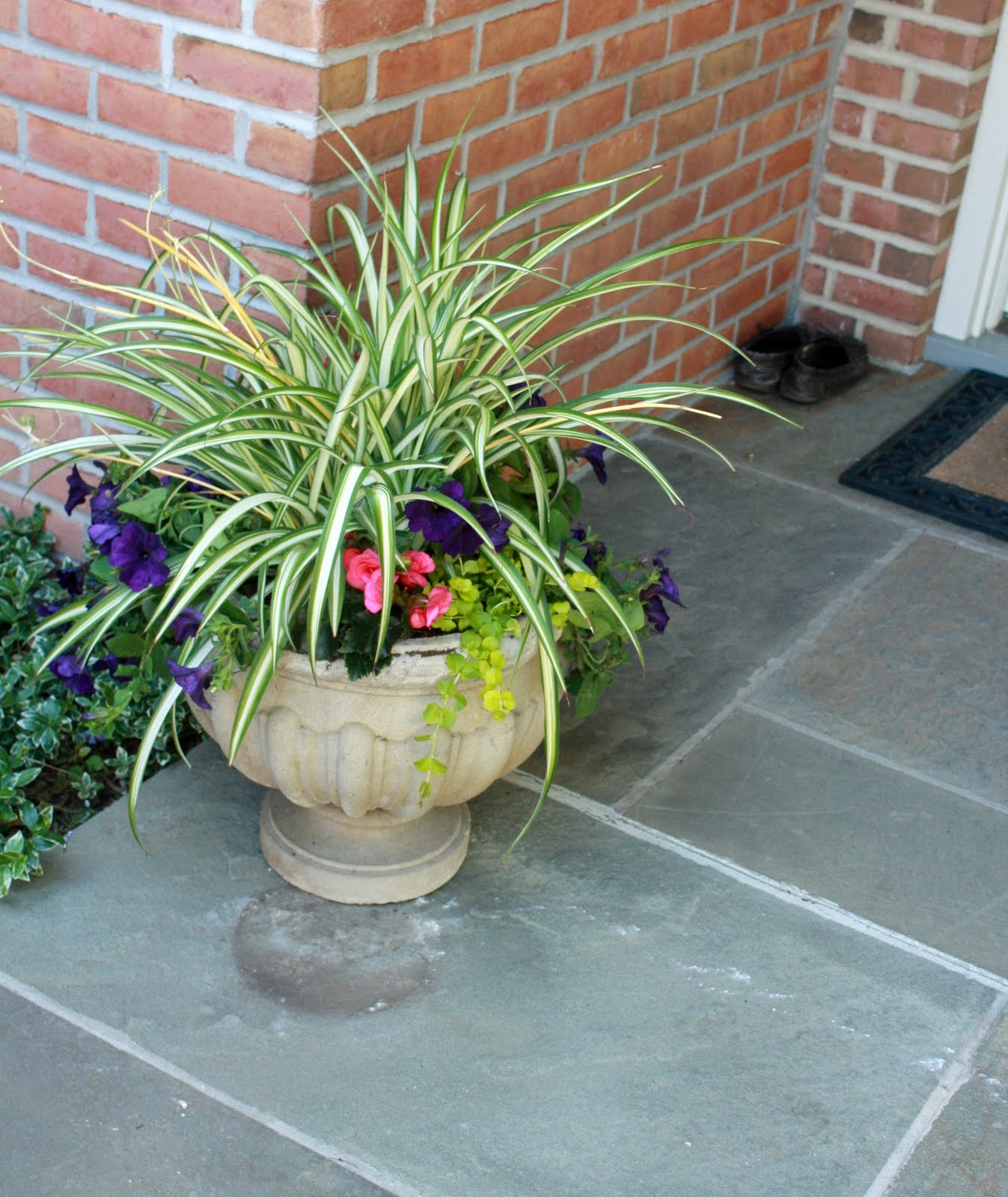 flores del sol thursday morning spider plant propagation