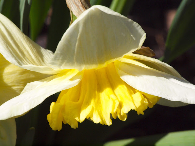 Daffodil, Central Park, 2013, NYC