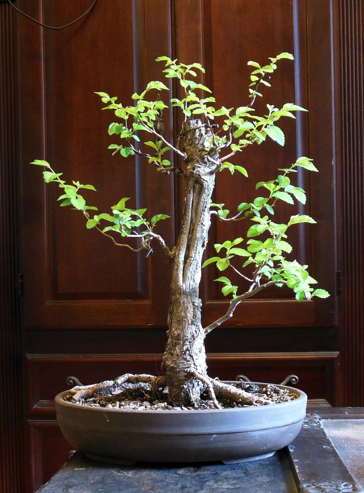 Laser Beam Bonsai American Elm Bonsai