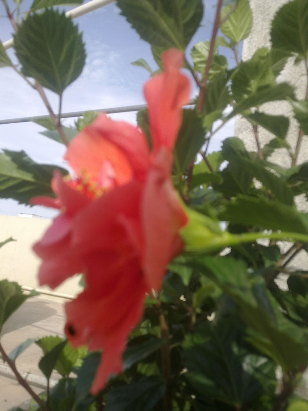 Plants growing in my potted garden double petaled orange hibiscus and here it is my first double petaled orange hibiscus flower izmirmasajfo