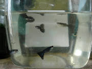 german black guppies