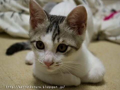 香箱座り練習中の子猫