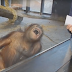 Why this monkey is shaking with laughter after seeing a cup?