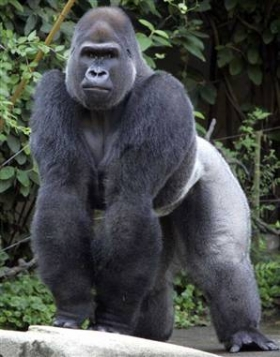 male gorillas fighting