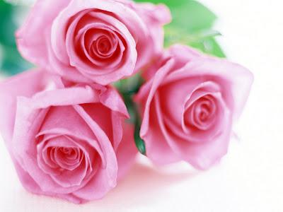 Gambar mawar indah warna pink