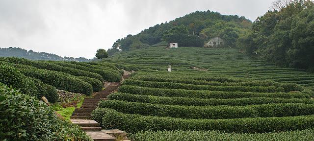 Culture du thé en terrasses à Hangzhou