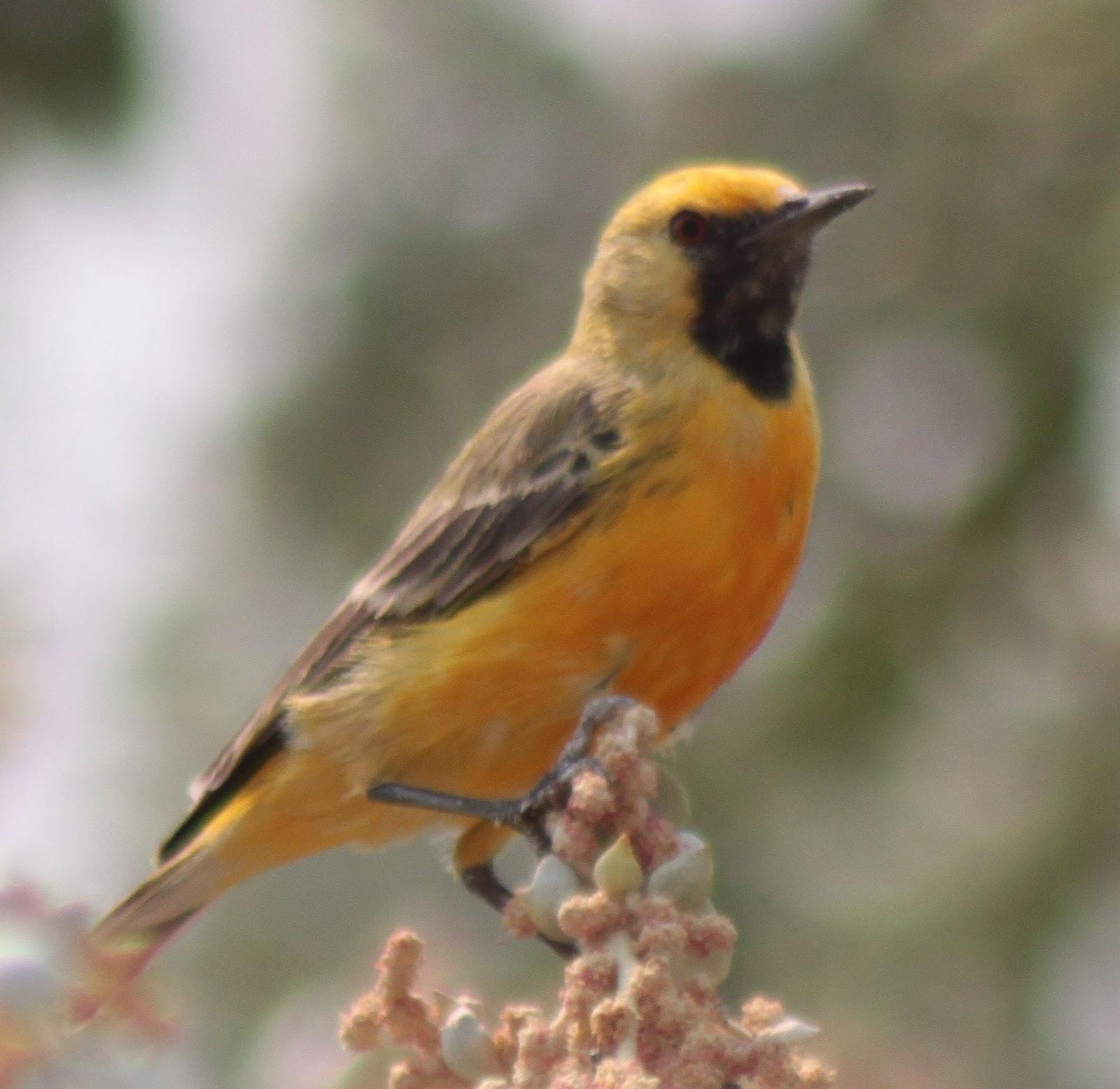 Richard waring 39 s birds of australia bird photos of the - Chat orange ...