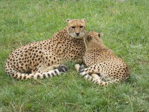 Pair of Breeding Cheetahs. A cheetah family including 3 cubs were in their enclosures.