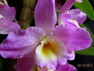 Dendrobium híbrido do blogdabeteorquideas