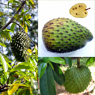 Efficacy Soursop Fruit