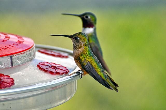 Pasari colibri
