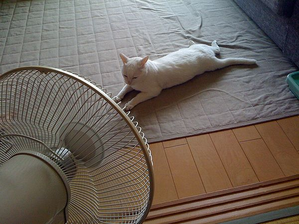 White cat in front of fan