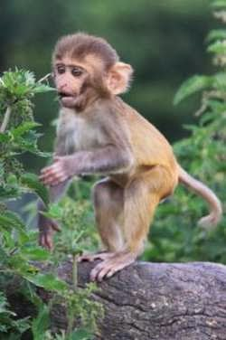 Monyet Rhesus Menghisap Jempol