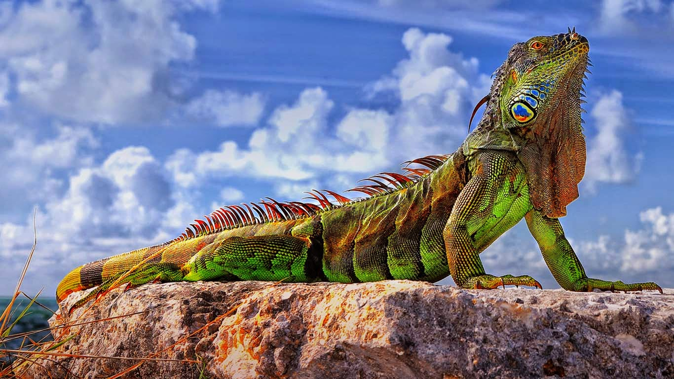 Common iguana in the Florida Keys (© Roman Mordashev/500px) 247
