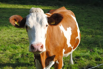 Tajemnice natury, surowe mleko prosto od krowy