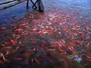 Budidaya Ikan Nila bagi Pemula dengan Hasil Optimal