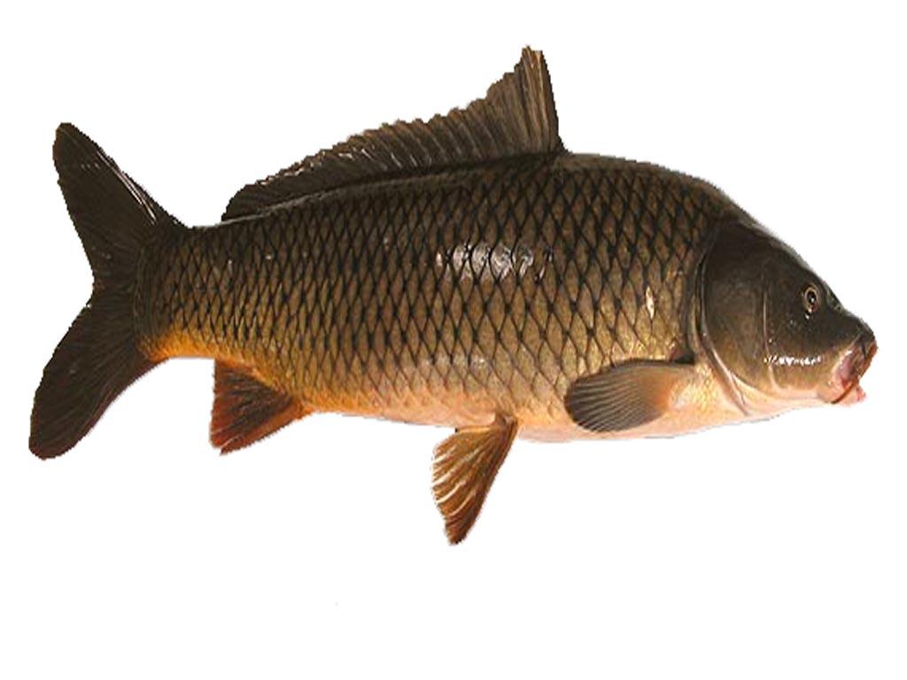 Carp fish - photo#1