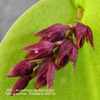 Pleurothallis modestissima