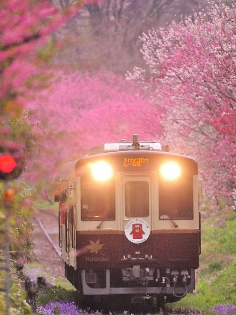 Japan Pink Sakura Blossoms Along Railroad Tracks