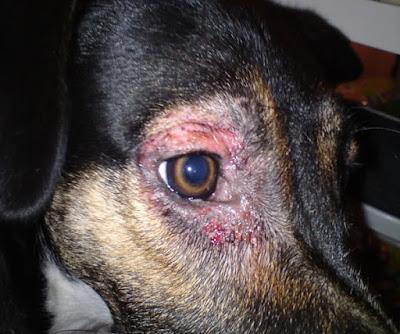 Vùng viêm lan rộng trên bờ mi chó nếu không được chữa trị kịp thời.