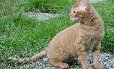 Gambar kucing German Rex