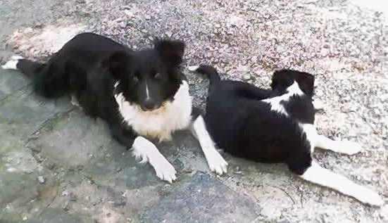 Sobre O Border Collie Raças de cachorro...