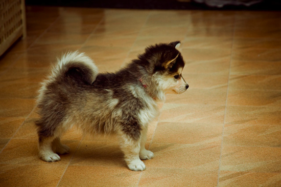 Amazing Pom Canine Adorable Dog - The+Cute+Pomsky+Puppies+Information  Perfect Image Reference_738767  .png