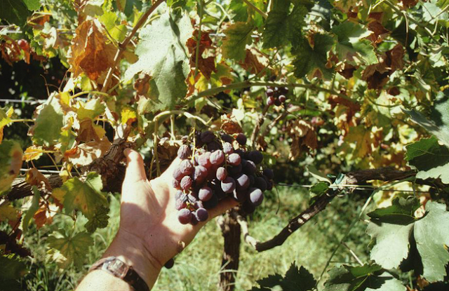 Grapes for Diseases Remedy