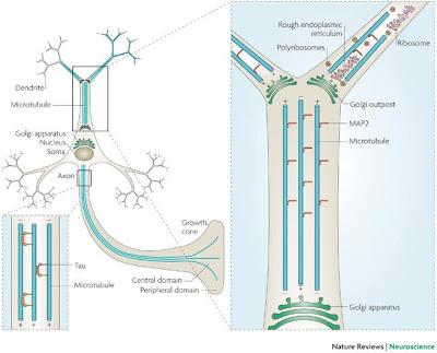 estructuras neuronales axones microtúbulos