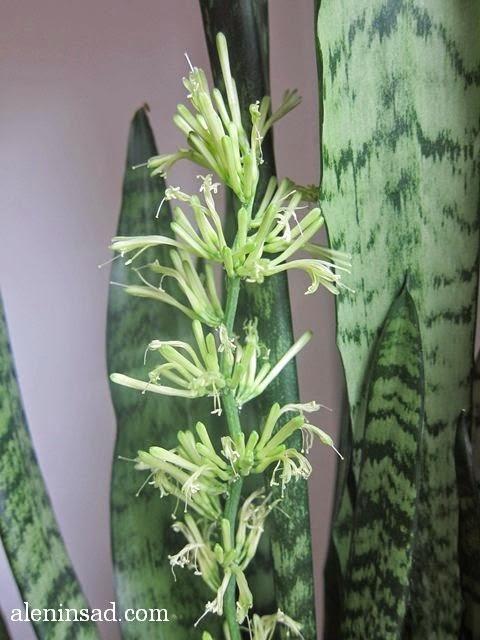Sansevieria trifasciata, щучий хвост, тещин язык, сансевиерия, цветение. цветок, цветы, цветет, аленин сад